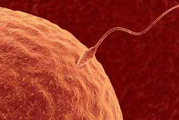 Fertilisation sperm connecting with egg